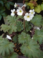 Primula sinensis.JPG