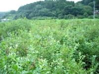 ブルーベリー畑.jpg