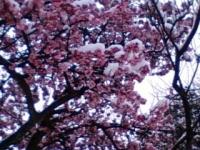 雪桜.jpg