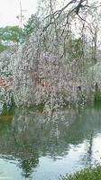 大社の桜.jpg